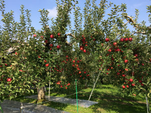 リンゴ狩りとお江戸タイムスリップの旅 2015.10.24