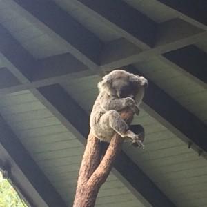 コアラと記念写真が撮れるタロンガ動物園とオーストラリア博物館 シドニー日記(5)