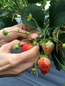 苺は、ヘタが「バンザイ」していたら食べごろです–苺狩り@秦野石田ファーム工房