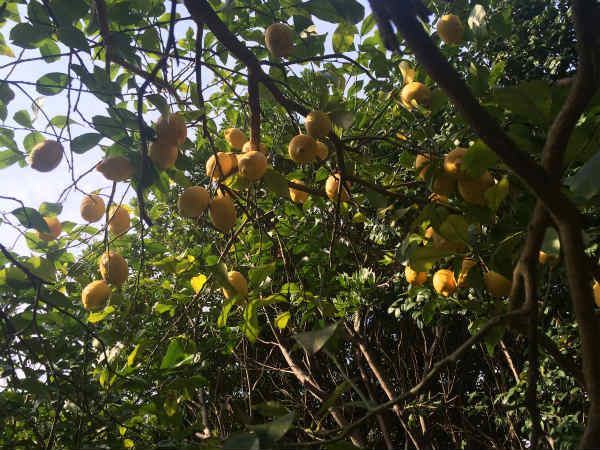 無農薬レモン狩り@真鶴「オレンジフローラルファーム」は丸ごと美味しい!