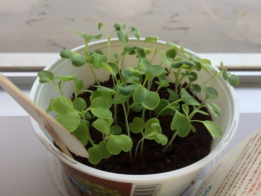 職場で植物を育ててみた「植物観察日記」育てる、食べる、鑑賞するキット