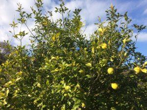 とびきりの穴場・隠れ家的観光農園・建設会社さんが経営するファーマシーガーデン浦賀へのレモン狩りツーリング